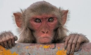 Old World primate rhesus monkey looking at a camera